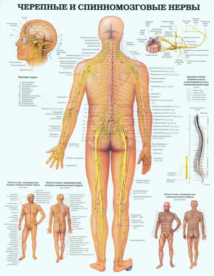 Spinal nerve anatomy diagram